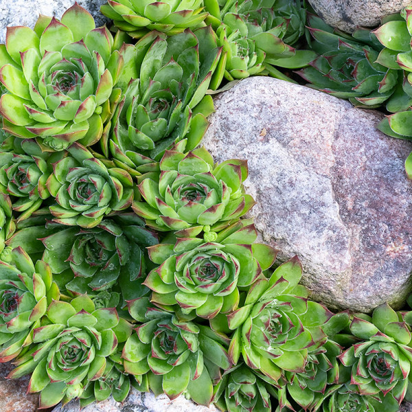 Hauswurz (Sempervivum) Grün