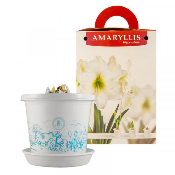 Amaryllis Arctic Nymph im Zuchttopf in Geschenkbox
