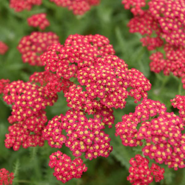 Schafgarbe (Achillea) 'Paprika'