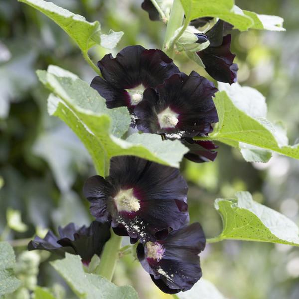 Stockrose (Alcea rosea) 'Nigra'