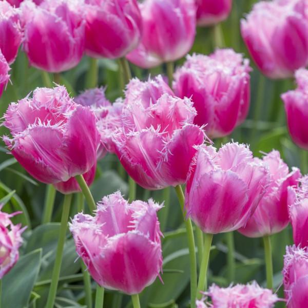 Tulipa Cacharel