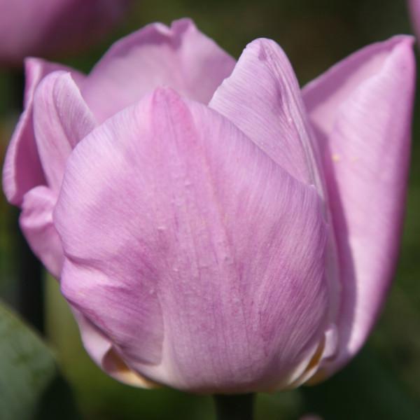 Tulpen Candy Prince
