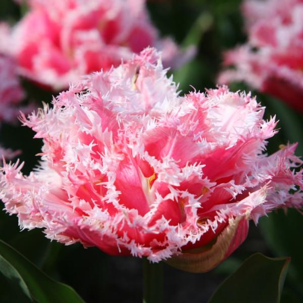 Tulpen Queensland
