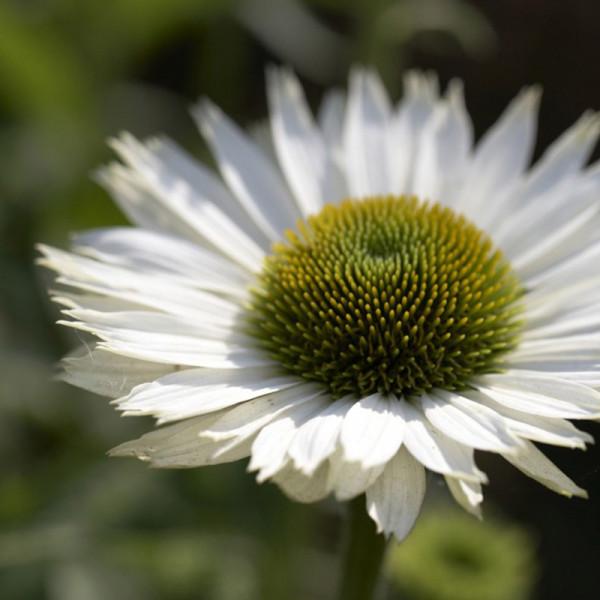 Sonnenhut (Echinacea purp.) 'Virgin'