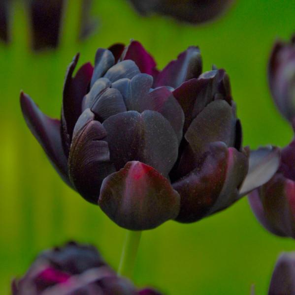 Tulipa Black Hero