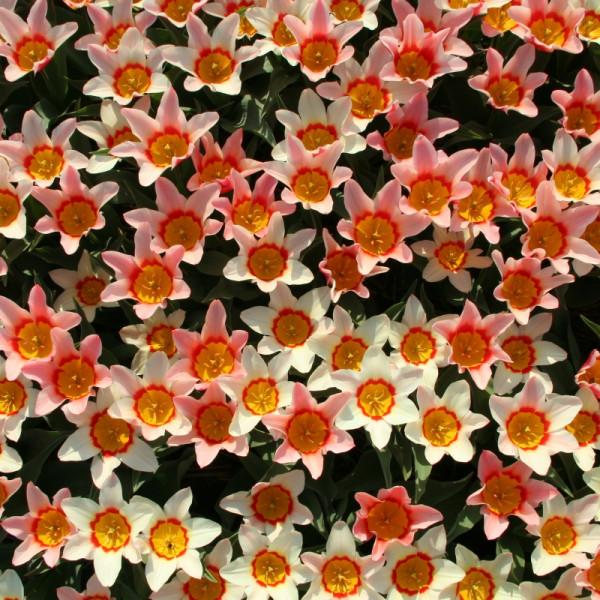 Tulpen Analita