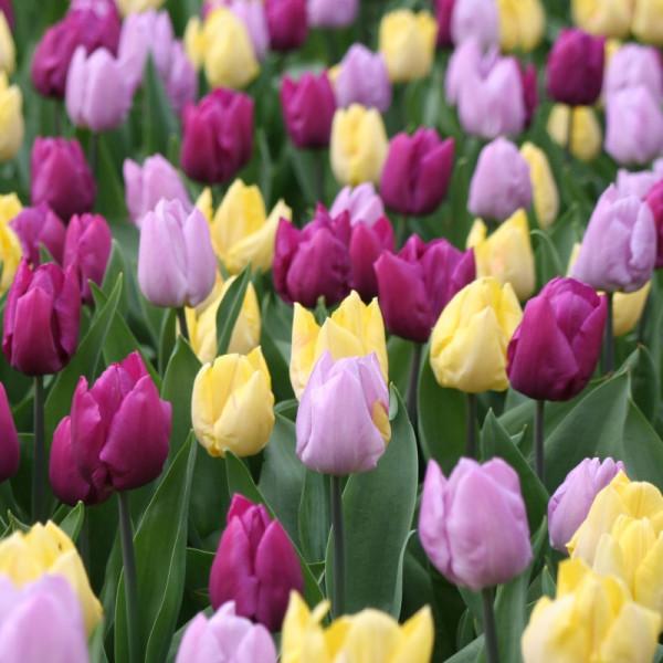 Tulpen Middle Flowering Mischung