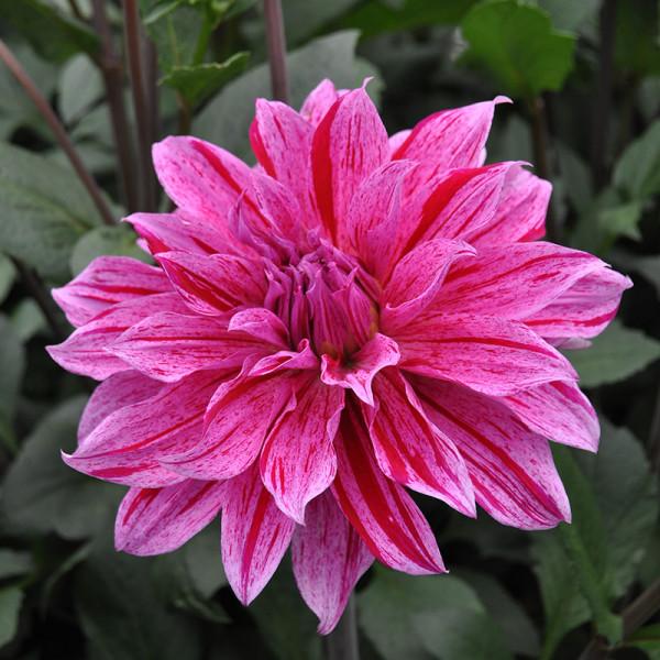 Dahlia Babylon lila gevlamd