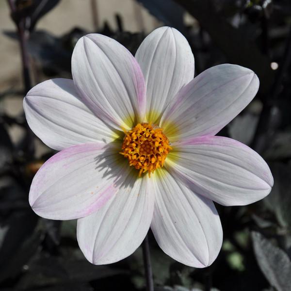 Dahlie Dahlegria Weiß