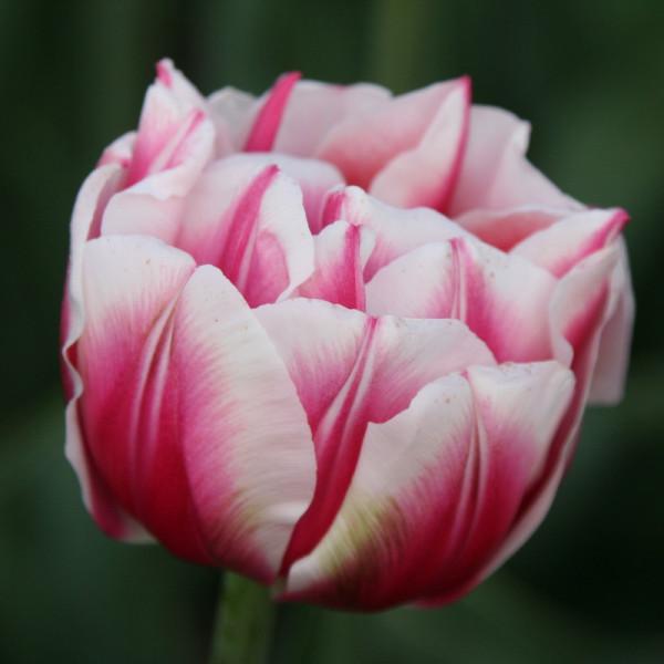 Tulpen Fantasy Lady