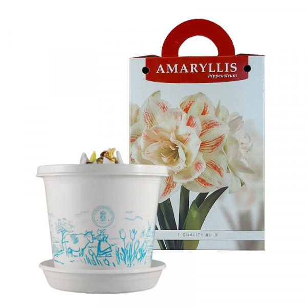Amaryllis Nymph im Zuchttopf in Geschenkbox