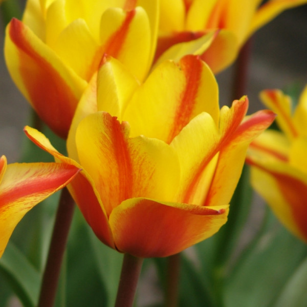 Tulpen Cape Cod
