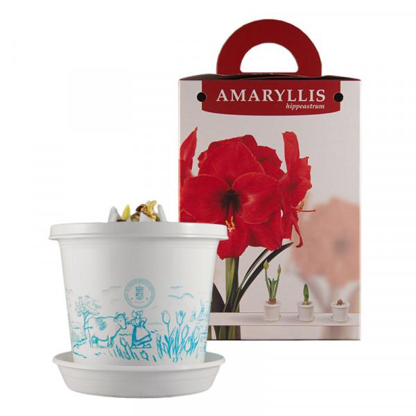 Amaryllis Red Pearl im Zuchttopf in Geschenkbox