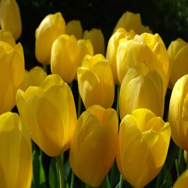 Großpackung Tulpen Big Smile