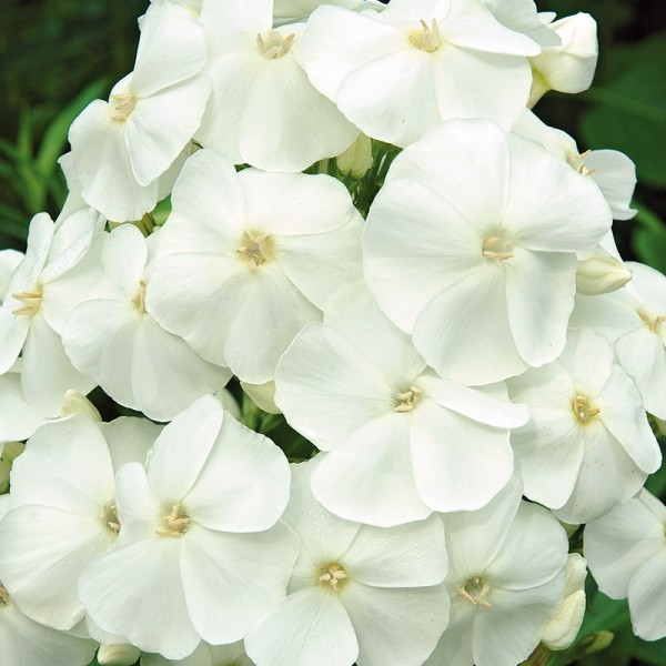 Phlox (P) 'Sw. Summer Snow'