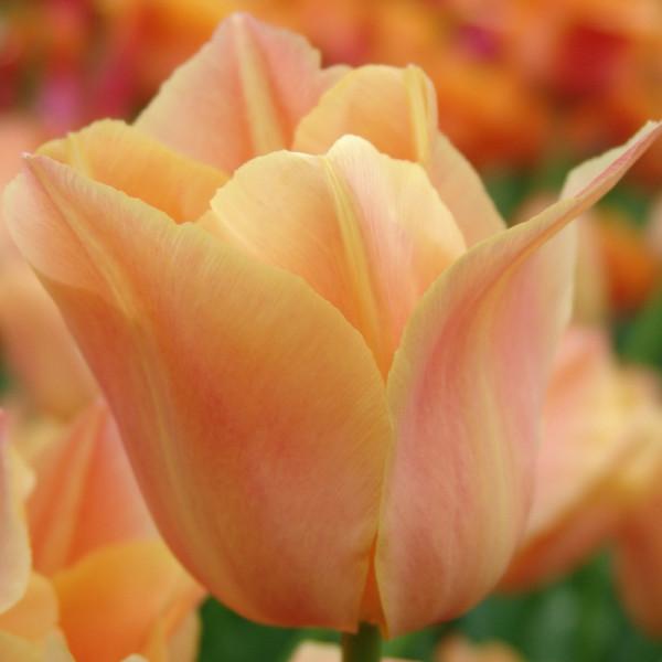 Tulpen Stunning Apricot