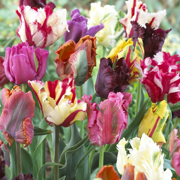 Blumenzwiebel Paket BARCELONA