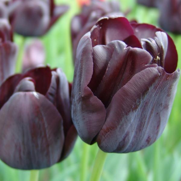 Tulpen Paul Scherer
