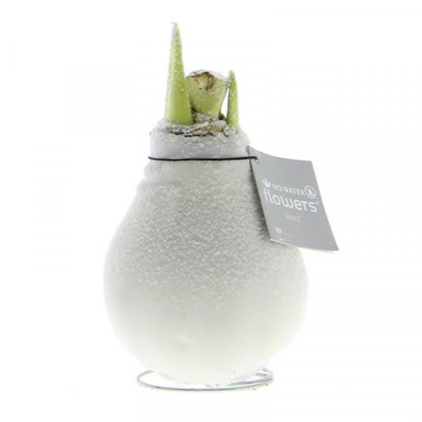 Amaryllis in Wachs mit Schnee Weiß