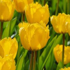 Alles-Over-Tulpen-gefranjerd