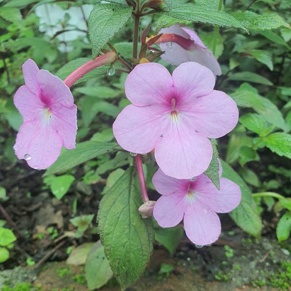 Achimenes Peach Blossom