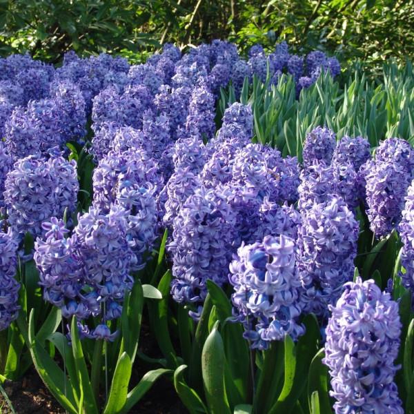 Hyazinthen Delft Blue