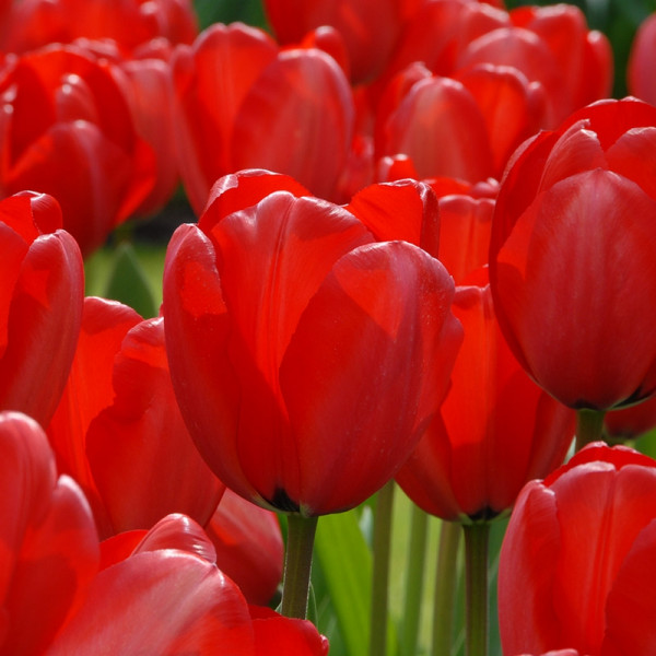 Großpackung Tulpen Red Impression®