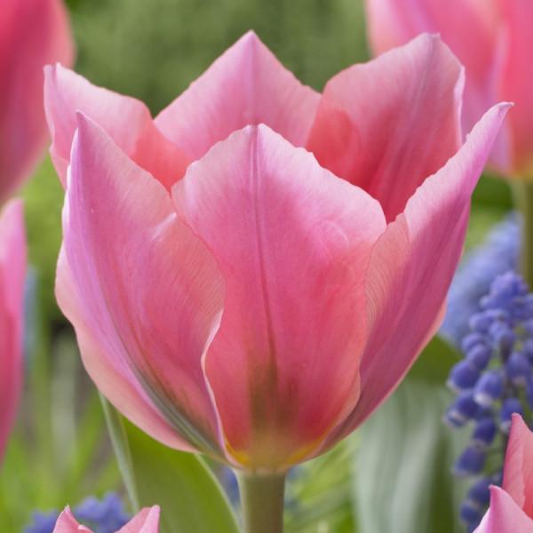 Tulpen Albert Heijn