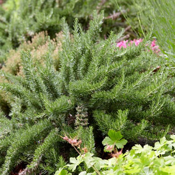 Kriechender Rosmarin (Rosmarinus lavandulaceus)