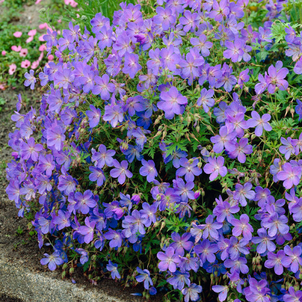 Storchschnabel (Geranium) 'Johnson's Blue'