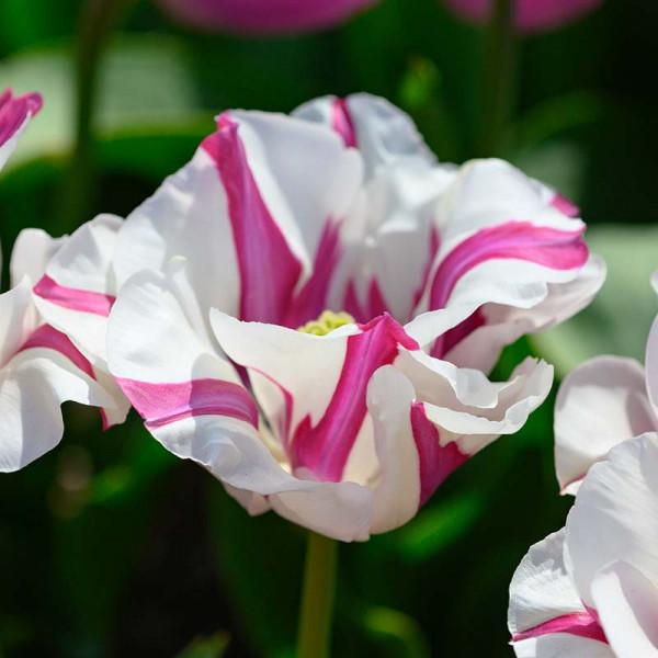 Tulpe Alise