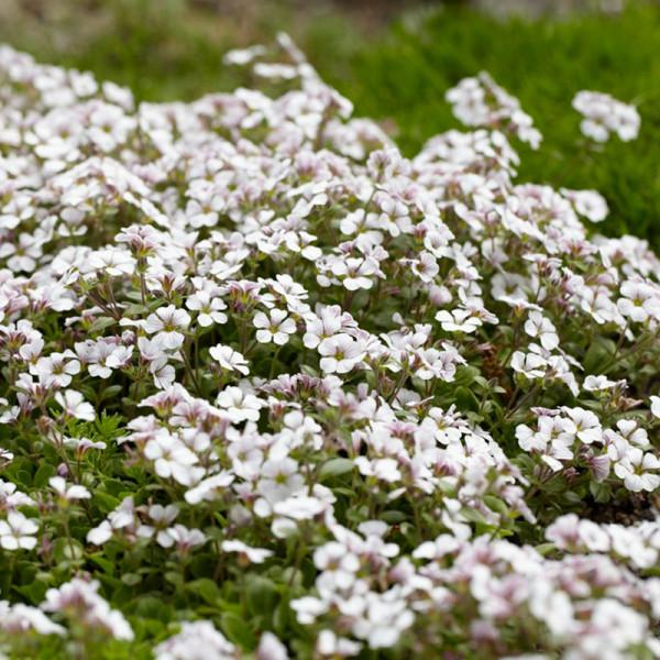 Gipskraut (Gypsophila) cerastioides
