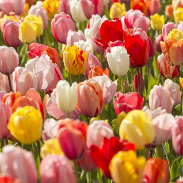 Tulipa Darwin Hybrid Mix