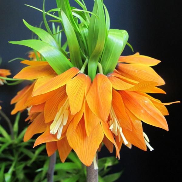 Kaiserkrone Orange Beauty