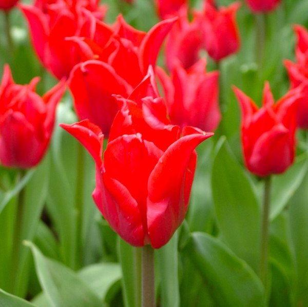 Tulp Pretty Woman