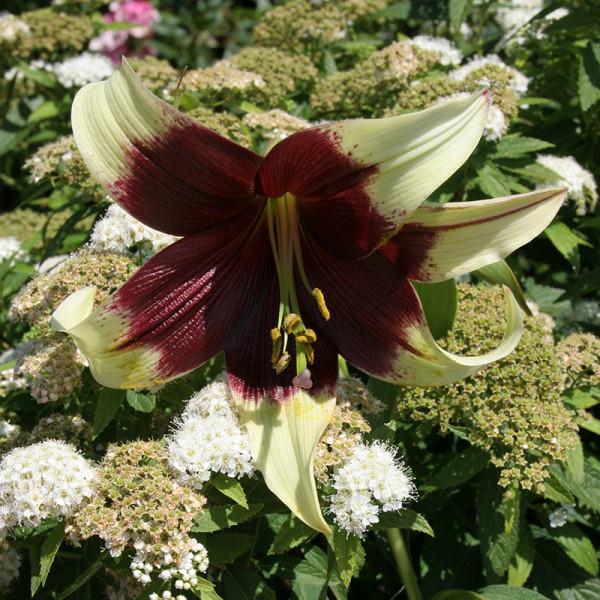 Lilie nepalense