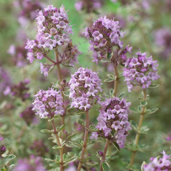 Thymian (Thymus vulg.) 'Silver Posie'