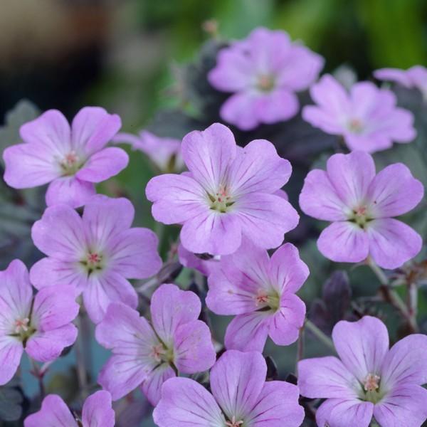 Geranium 'Dusky Crûg' Set von 3 Pflanze, Preis pro Pflanze