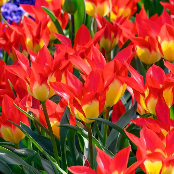 Tulpen Flames Mystery