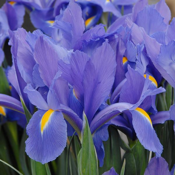 Iris hollandica Discovery