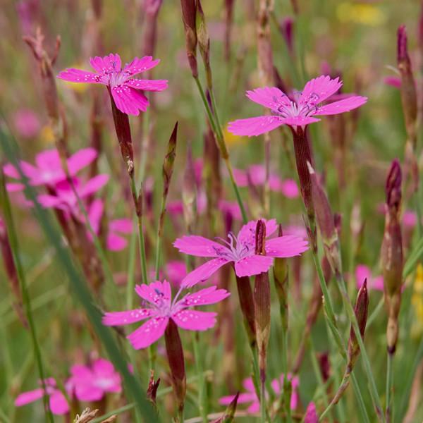 Heidenelke (Dianthus delt.) 'Splendens'