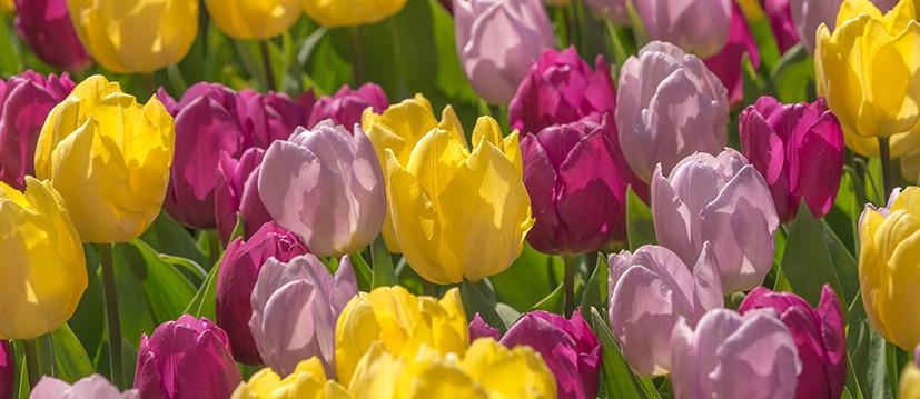 Einfache frühe Tulpen