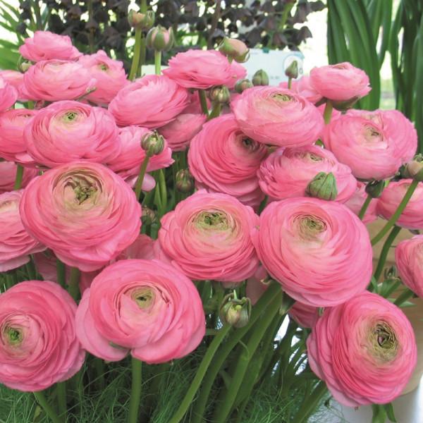 Ranunculus Aviv rosa