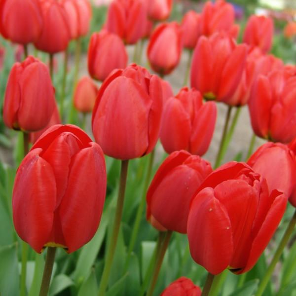 Tulpen Parade