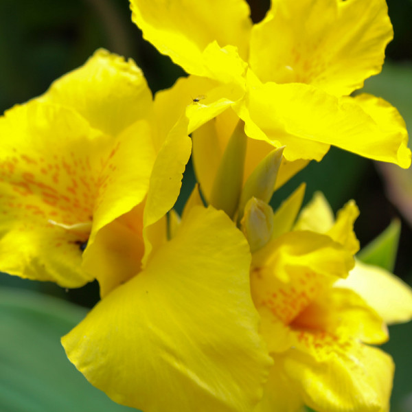 Canna King City Gold