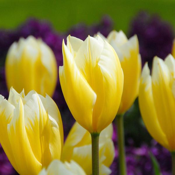 Tulpen Sweetheart
