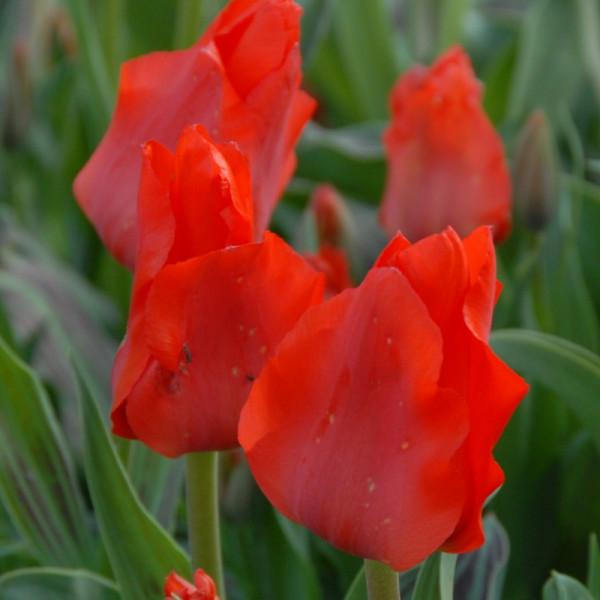 Tulp Red Riding Hood