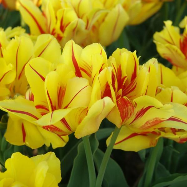 Tulpen Monsella