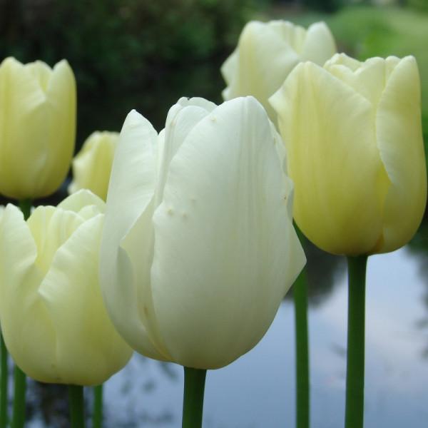 Tulpen Maureen
