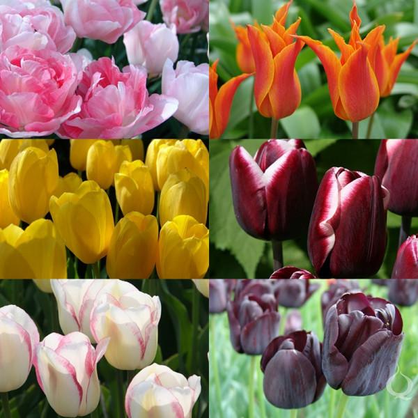 Blumenzwiebel Paket MÜNCHEN